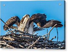Osprey Alert Acrylic Print