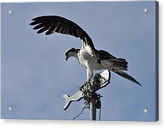 Osprey And Whale Acrylic Print by Gerald Hiam