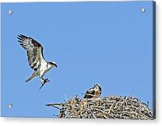 Osprey Brings Fish To Nest Acrylic Print