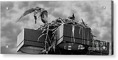 Osprey Carrying Fish To Nest Acrylic Print