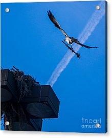 Osprey Carrying Stick To Nest Acrylic Print