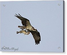 Osprey Catches A Fish Acrylic Print by Barbara Bowen