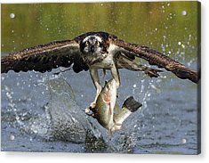 Osprey Catching Trout Acrylic Print by Scott  Linstead