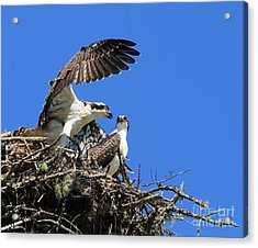 Acrylic Print featuring the photograph Osprey Chicks Ready To Fledge by Debbie Stahre