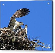 Osprey Chicks Ready To Fledge Acrylic Print