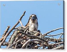 Osprey Eyes Acrylic Print by Paul Freidlund