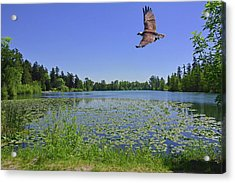 Osprey Fishing At Wapato Lake Acrylic Print