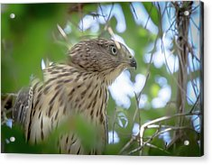 Red-shouldered Hawk Fledgling 1 Acrylic Print