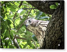 Red-shouldered Hawk Fledgling - 5 Acrylic Print