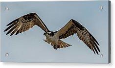 Osprey Flying Acrylic Print by Paul Freidlund