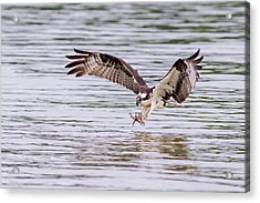Acrylic Print featuring the photograph Osprey Going For Breakfast by Lori Coleman