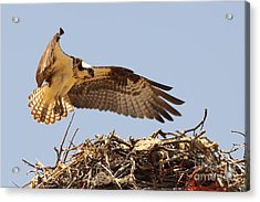 Osprey Hovering Above Nest Acrylic Print by Max Allen
