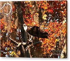 Osprey In Fall Acrylic Print by Theresa Willingham