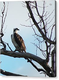 Osprey In Tree Acrylic Print