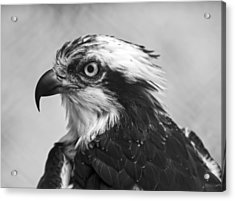 Osprey Monochrome Portrait Acrylic Print by Chris Flees