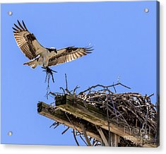 Osprey Nest Building Acrylic Print