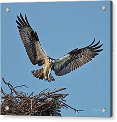 Acrylic Print featuring the photograph Osprey Nest Landing by David A Lane