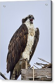 Acrylic Print featuring the photograph Osprey On Its Perch by Eddie Yerkish
