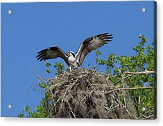 Osprey On Nest Wings Held High Acrylic Print