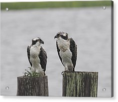 Osprey On Nj Shore 2014 Acrylic Print