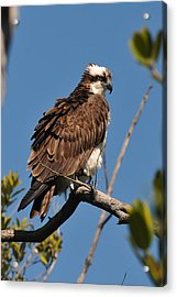 Osprey On Perch Acrylic Print
