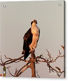 Osprey On The Caloosahatchee River In Florida Acrylic Print by Louise Heusinkveld