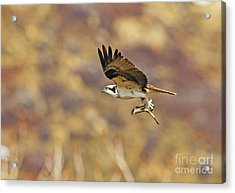 Osprey On The Wing With Fish Acrylic Print by Dennis Hammer