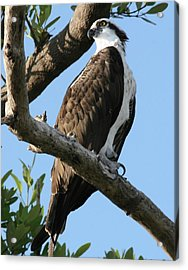 Acrylic Print featuring the photograph Osprey - Perched by Jerry Battle