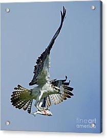 Osprey Success Acrylic Print