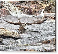 Acrylic Print featuring the photograph Osprey Takes Fish From Gulls by Debbie Stahre