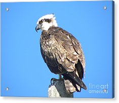 Acrylic Print featuring the photograph Osprey by Terri Mills