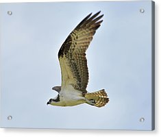 Osprey Upswing Acrylic Print