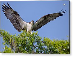 Osprey With Wide-open Wings Acrylic Print by Andres Leon
