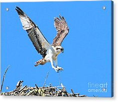 Ospreys Learning To Fly Acrylic Print