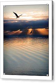 Ospreys Acrylic Print