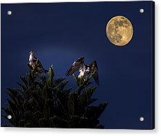 Ospreys With The Moon Acrylic Print