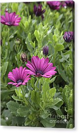 Osteospermum Flowers Acrylic Print by Erin Paul Donovan