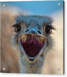 Acrylic Print featuring the photograph Ostrich Big Mouth by Dan McManus
