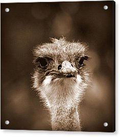 Ostrich In Sepia Acrylic Print by Tam Graff