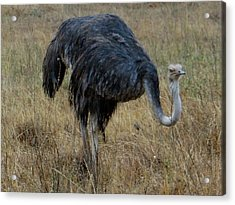 Ostrich In The Grass 1 Acrylic Print