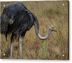Ostrich In The Grass 2 Acrylic Print