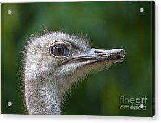 Ostrich Portrait Acrylic Print by Dr. Hinrich B�semann