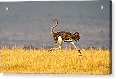 Ostrich Struthio Camelus Running Acrylic Print
