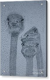 Ostrich Umbrella Acrylic Print by David Joyner