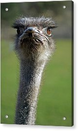 Ostrich What A Face Acrylic Print by Laura Mountainspring