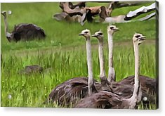 Ostriches In Africa Acrylic Print by Dan Sproul