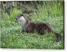 Otter By The Water Acrylic Print by Philip Pound