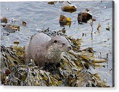 Otter On Seaweed Acrylic Print