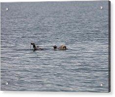 Otter On The Bay Acrylic Print