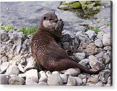 Otter Playing With Rocks Acrylic Print by Stephen Athea